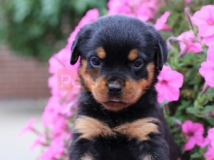 Gorgeous Rottie pups, Ready