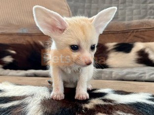 Adorable male and female fennec kittens available to approved homes,