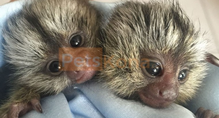 Male and female baby Marmoset monkeys for rehoming.