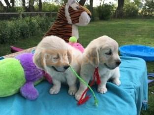 Golden retriever pups ready