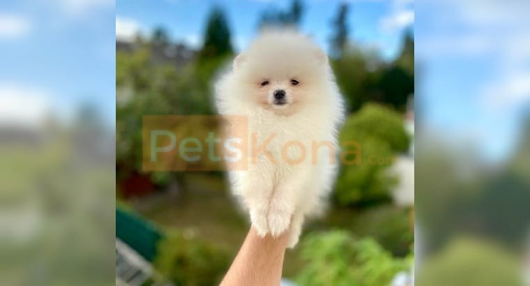 PEDIGREE White Teacup POMERANIAN Puppies AVAILABLE!!