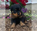 PEDIGREE ROTTWEILER PUPPIES AVAILABLE FOR RE-HOMING