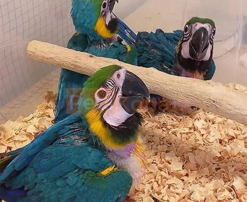 Baby Macaw Parrots and fertile eggs for sale.
