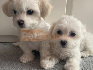 Ice White Maltese Puppies