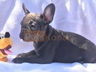 Buy Amazing Blue French Bulldog Puppies Online