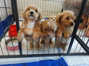Gorgeous maltipoo boys and Girls looking for a new home