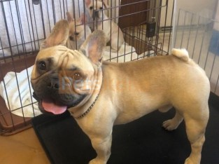 Purebred Excellent French Bulldog Puppies Available