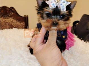 Potty Trained Yorkie Puppies . 12 Weeks old…Text me.. +1 (661) 438-8352