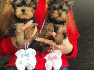 healthy yorkie puppies available for Xmas homes