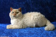curly-haired selkirk rex cats shown