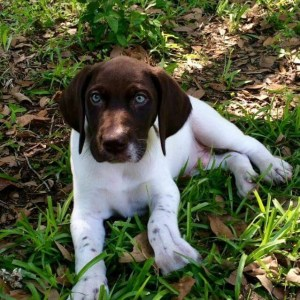 Clear White GSP puppy