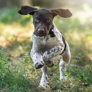 Fletcher- black ticked male | German Shorthaired Pointer ...  |Black Ticked German Shorthaired Pointer Puppies