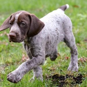 Light Liver Roan GSP puppy