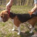 Beagle Shedding