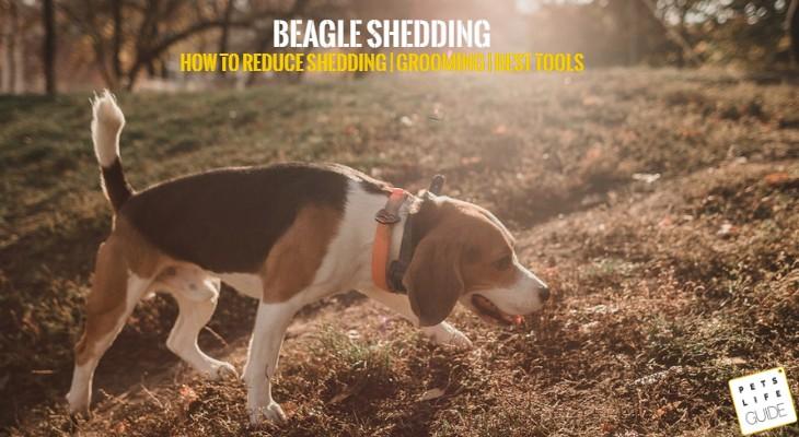 Beagle Shedding Problems