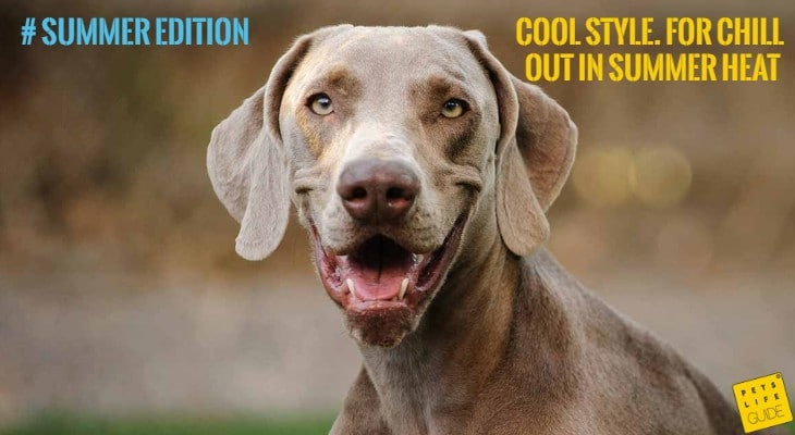 cooling collar for weimaraner