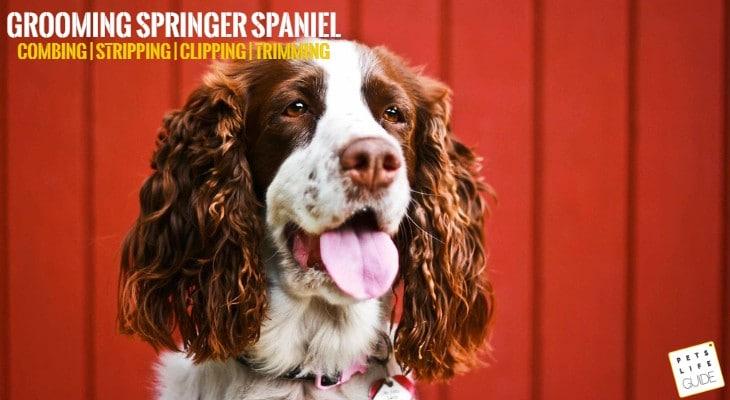 Springer Spaniel Grooming