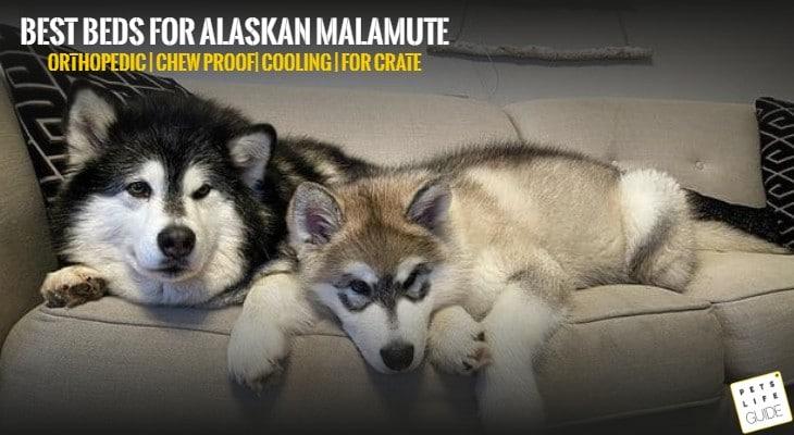 Best Beds for Alaskan Malamute