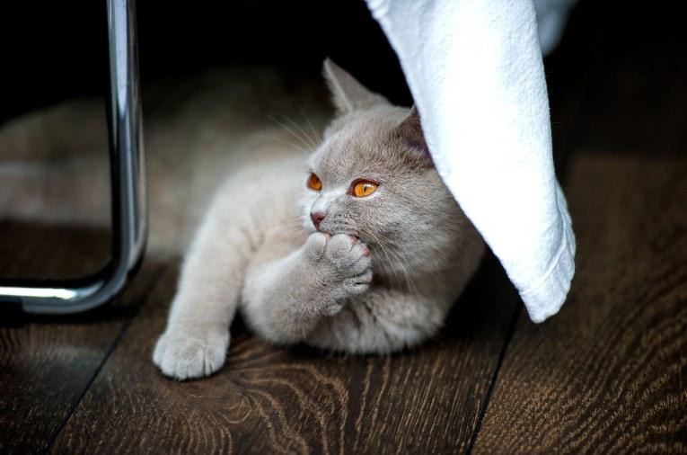 karakter kucing inggris