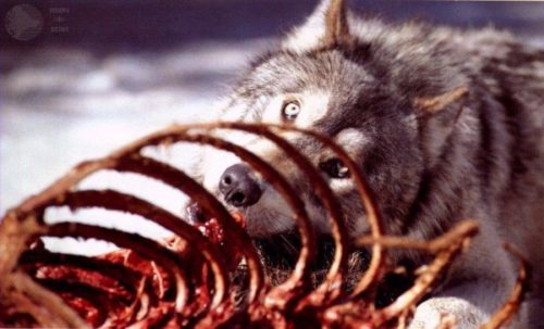wolves-eating-animals-11