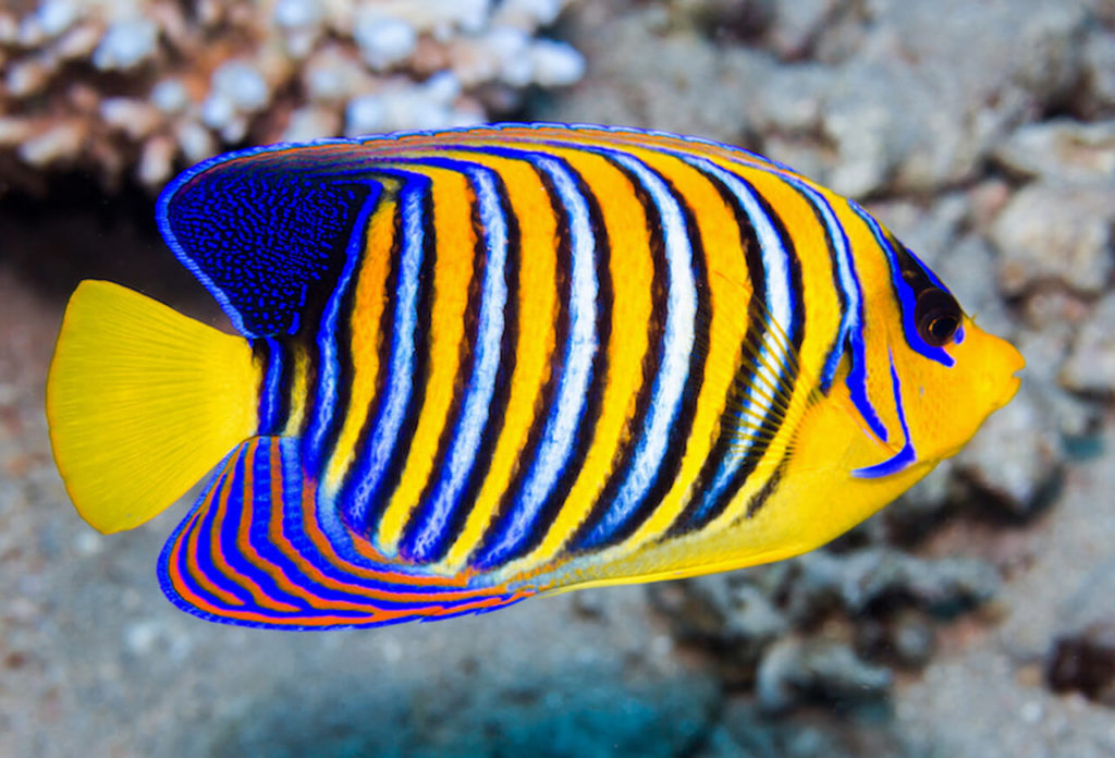 Know About The Beautiful Fishes That You Can   Pets Nurturing