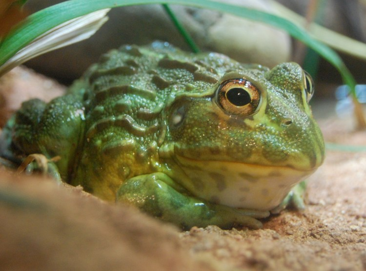 South African Bullfrog