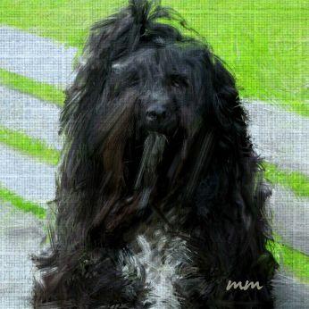 Hymalain Sheperd Dog