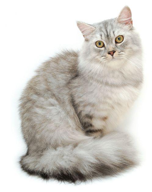 長毛貓 - 寵物的 窩