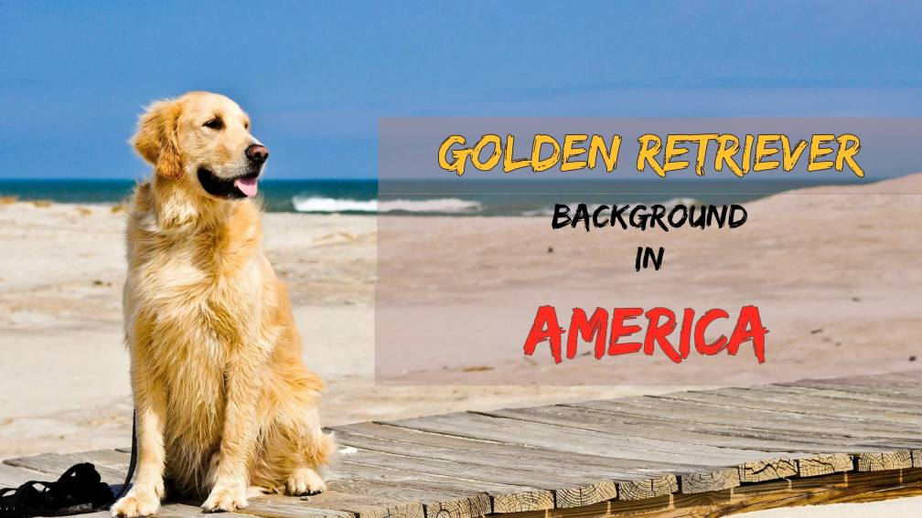 Golden Retriever Background America
