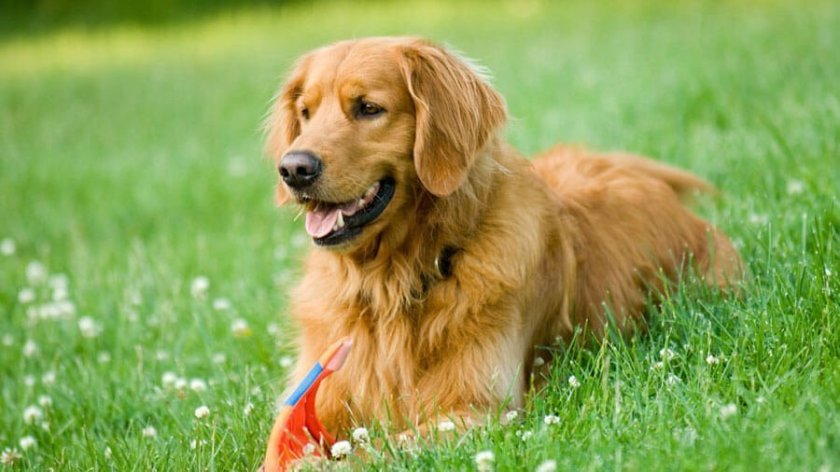 Golden Retriever Information