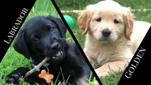 Golden Retriever vs Labrador Puppies