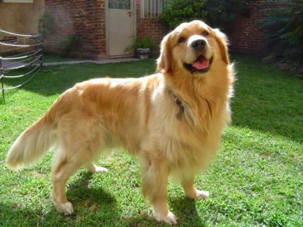Golden Retriever Aggression