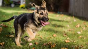 Train German Shepherd Puppies
