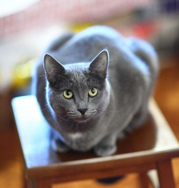 14 Best Cat Breeds Short Hair – Everything You Need To Know