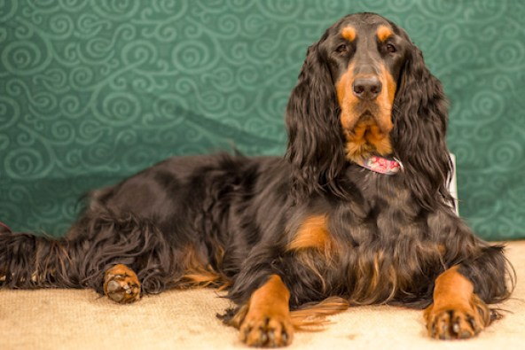 Gordon Setter top 20 smartest dog breeds