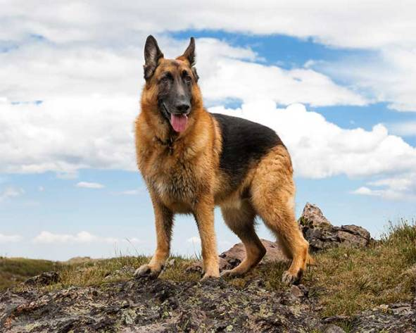 German Shepherd top 20 smartest dog breeds