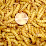 2000ct-Live-Giant-Mealworms-Pet-Food-Best-Bait-0