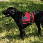 Service-Dog-In-Training-Clip-on-Identification-Hanging-Patch-Tag–Clips-onto-a-Service-Dog-Vest-Harness-Collar-Leash-or-Carrier-0-1