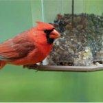 Wagners-42032-Cardinal-Blend-Bucket-5-12-Pounds-0-1