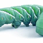 12-Live-Hornworms-by-Manduca-sexta-with-enough-food-to-grow-them-to-near-adult-0