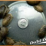 Dubia-Roaches-Extra-Large-125-1090-Grams-Average-Count-1000-0