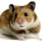 Rodent-Pet-Food-2-lbs-For-All-Types-of-Rodents-Complete-Diet-Mice-Rats-Gerbils-Hamsters-Squirrels-Blocks-Great-For-All-Your-Large-or-Small-Rodent-Needs-Dust-Free-Harlan-8640-Teklad-BULK-0-2