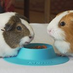 STAYbowl-Tip-Proof-Ergonomic-Pet-Bowl-for-Guinea-Pig-and-Other-Small-Pets-14-Cup-Size-Sky-Blue-0-1
