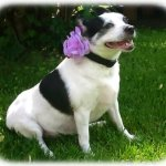 Squishy-Pet-Products-Sprinkles-Collar-Accessories-Lavender-Fields-Glitter-Rose-3-Inch-Lavender-Glitter-Rose-0-0