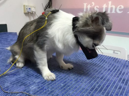 How To Help A Dog With Congestive Heart Failure