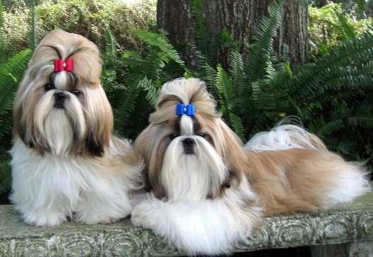 Chipsu Dogs