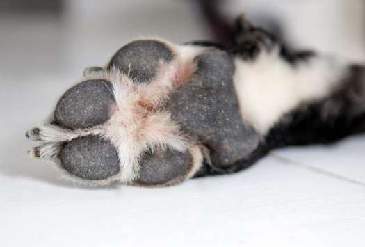 Dog Foot Fungus