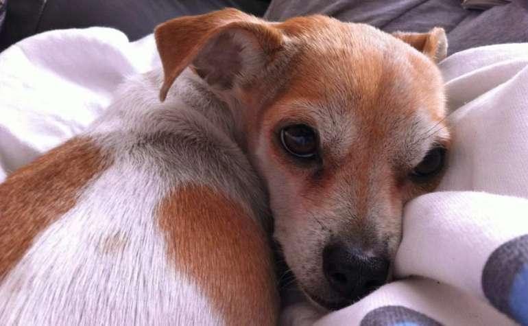 Dog Heart Murmur Life Expectancy