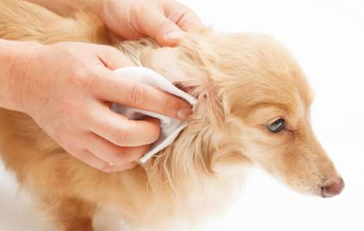 Home Remedy For Dog Ear Infection