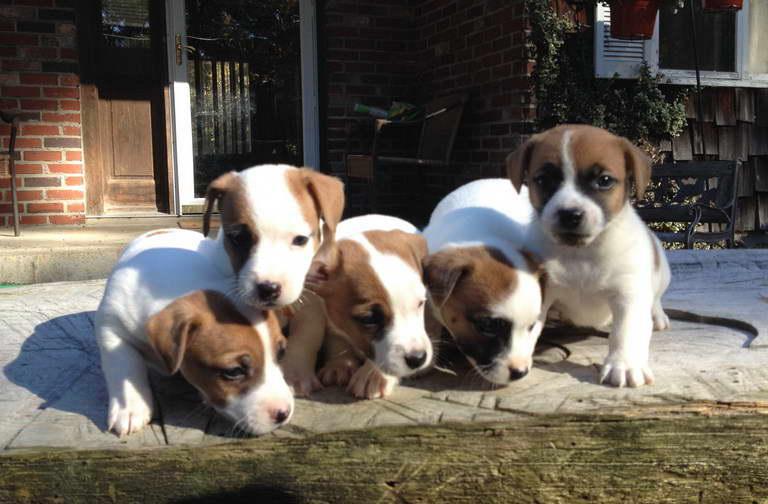 Dog Breeders In Ma